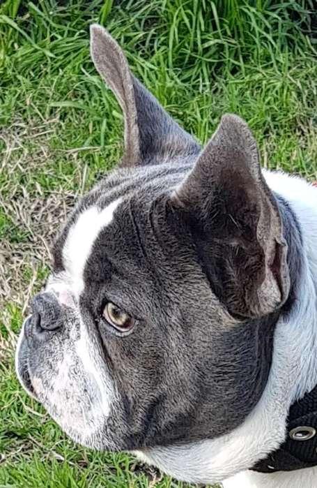 <strong>bulldog</strong> Frances Blue en Servicio de Stud