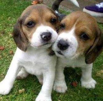 !!!TRAVIESOS BEAGLE <strong>cachorro</strong>S EN VENTA!!! MAS RAZAS PURAS