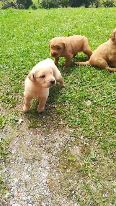Espectaculares Cachorros Golden Retrieve