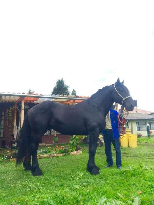 Vendo <strong>caballo</strong> Frison x percheron