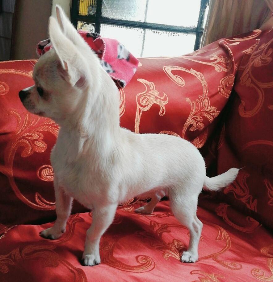 Chihuahua Brinda Servicio De Monta