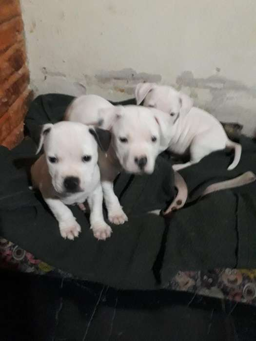 Ultimos 3 Machitos Pit Bulls Blancos