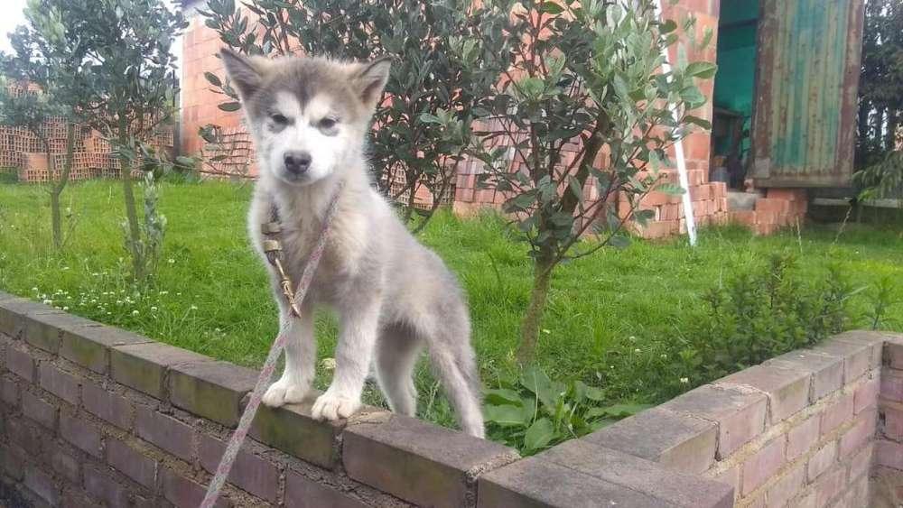 se vende hermosa cachorra alaskan malamute
