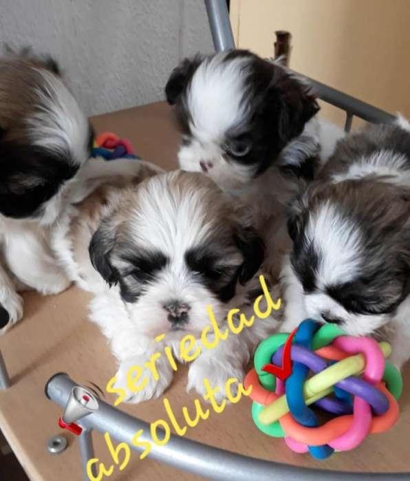 Pida Vídeo Cachorritos originales Shitzu Miniatura ñatitos