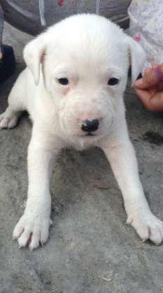 Pitbull Cruce con Labrador