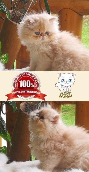 Gato Persa de Criadero