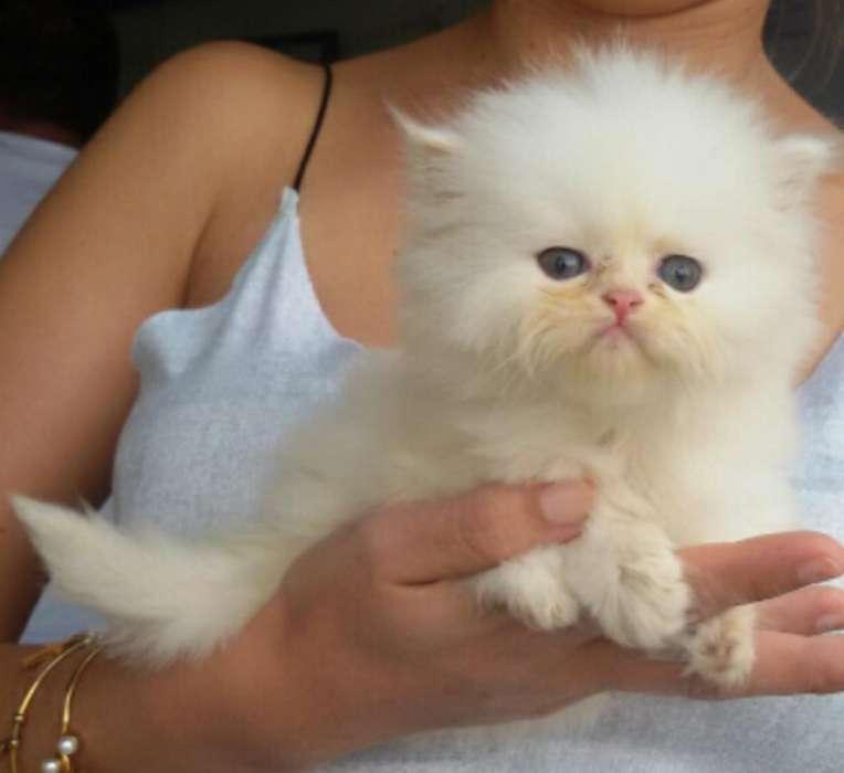 Gatitos Persas en El Huila