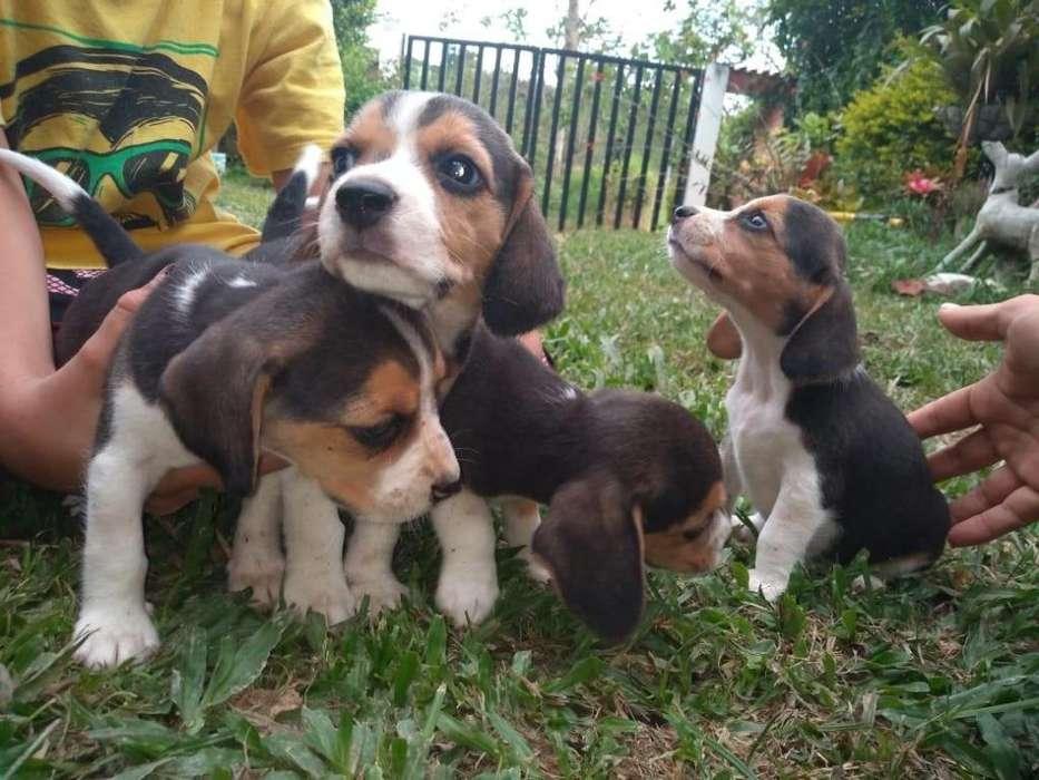 se venden perros <strong>beagle</strong>s puros 3184918263