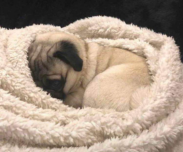 <strong>cachorro</strong>s Pug 0999222799
