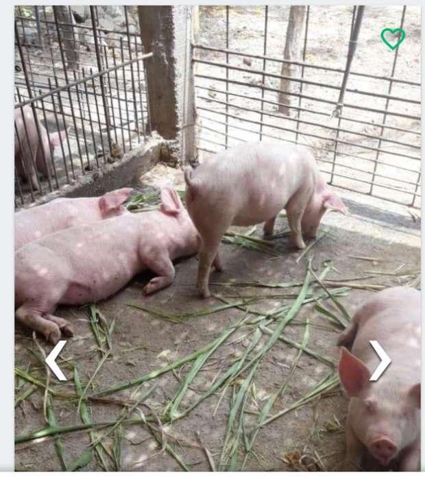 Lechones Y Carne de Cerdo 997635387