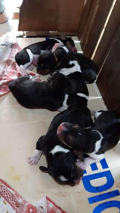 Se Venden Cacharros <strong>beagle</strong>s 0991459872