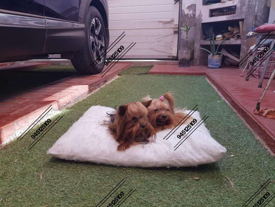 Exclusivo Cachorrito Yorkshire Toy Macho