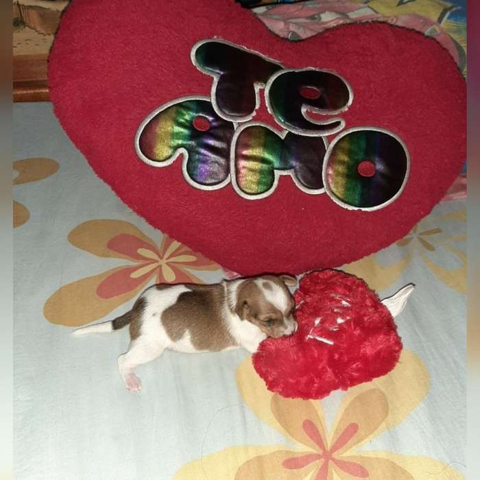 Se Vende Hermosas <strong>chihuahua</strong>s