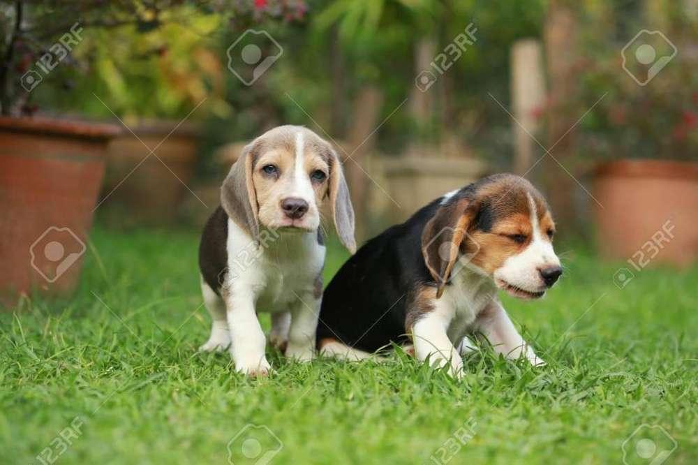 **ENCANTADORES <strong>beagle</strong> EN VENTA **