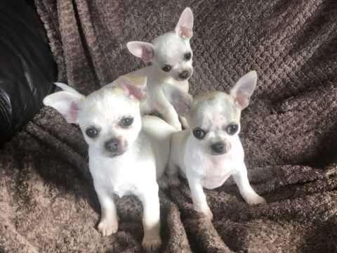 chihuahua perritos con pedigree