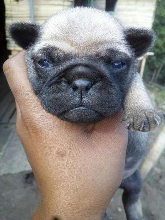 Se Vende <strong>perro</strong> Pug