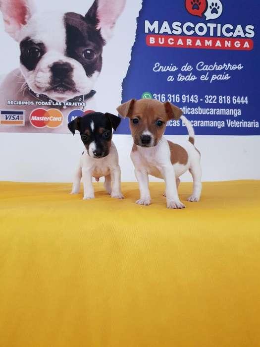 Sorprendentes Jack Russell Terriers Puro