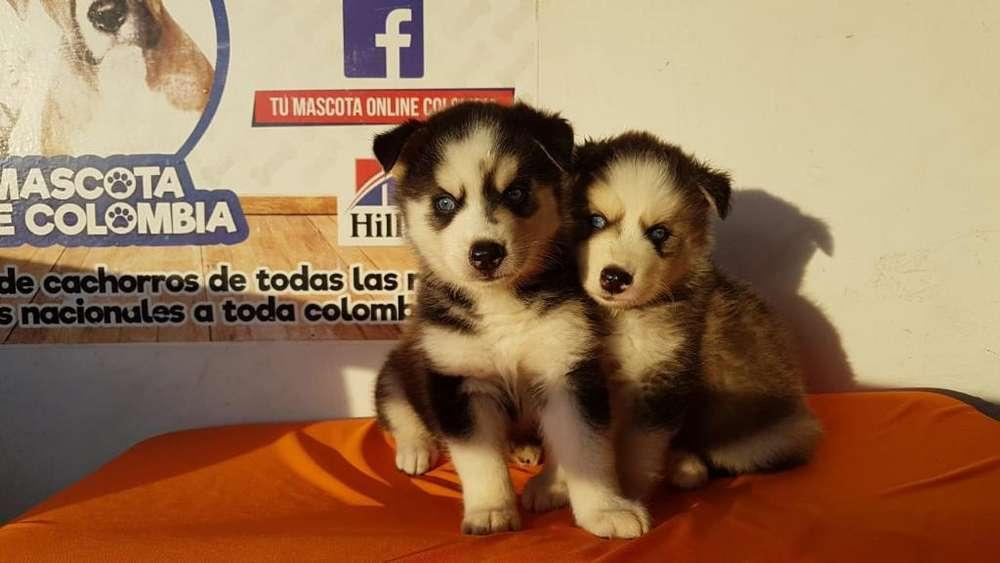 Bebecitos Husky Siberiano Ojos Azul