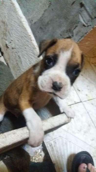 Venta Cachorro <strong>boxer</strong>s
