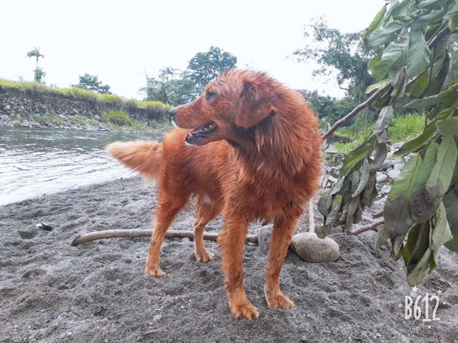 Perro Golden Retriber