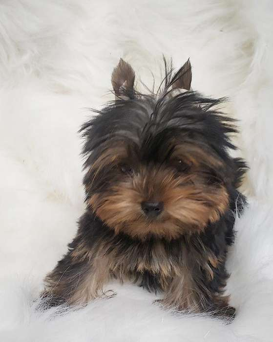 Yorkshire <strong>terrier</strong> Hembra Mini I