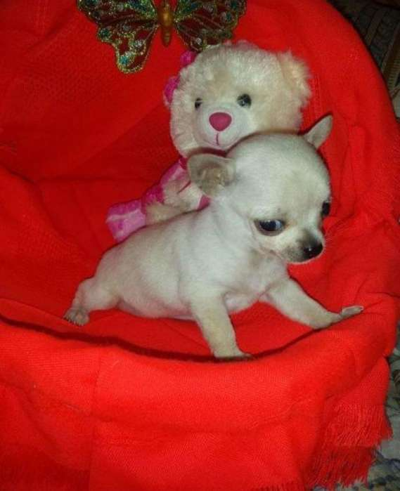 Hermosos Ejemplares <strong>chihuahua</strong>s