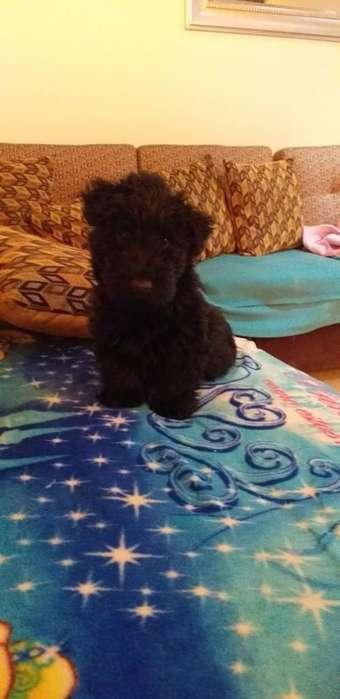 Vendo Cachorro Scothy Terrier
