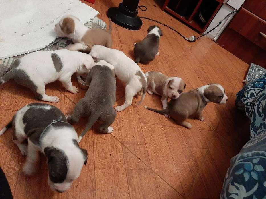 Pitbull Blue White
