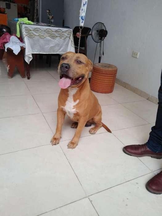 American Pitbull <strong>terrier</strong> BUSCA NOVIA