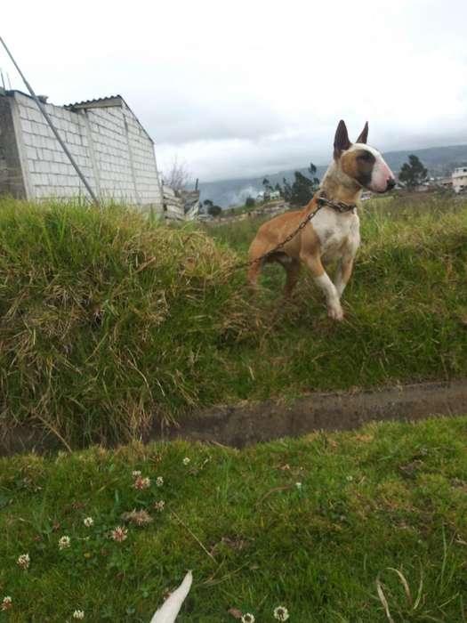 Bull Terrier para Monta