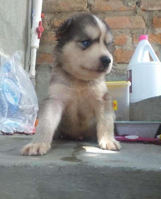 <strong>cachorro</strong> husky