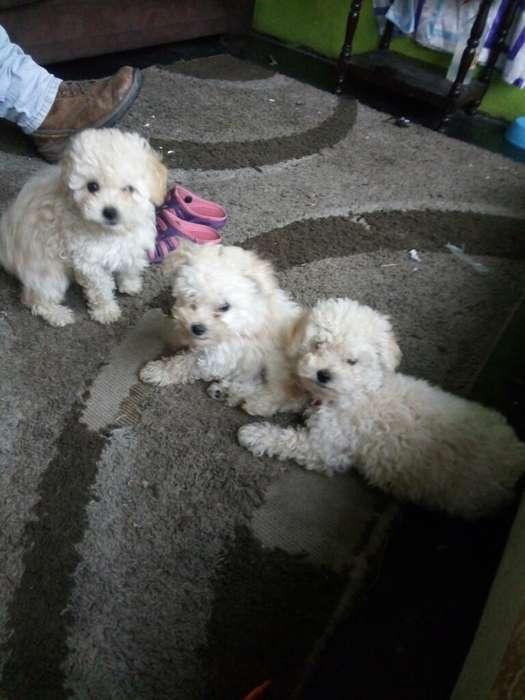 Cochorritos Hermosos Poodles Dos Mes