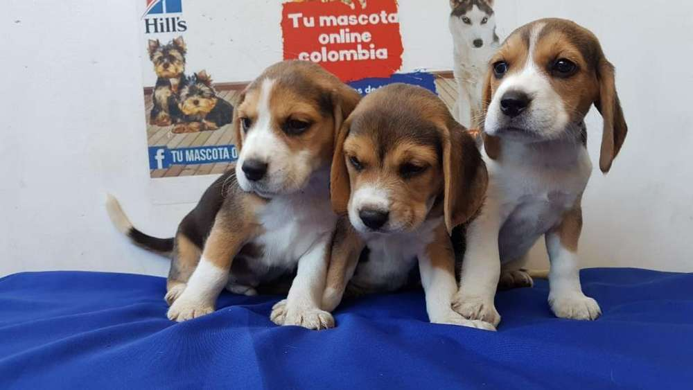 Bonitos Beagle Mini Alta Gana