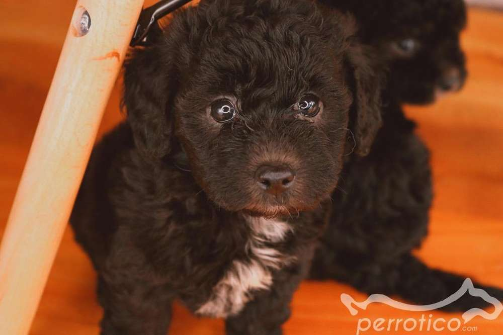 French Poodle Negro