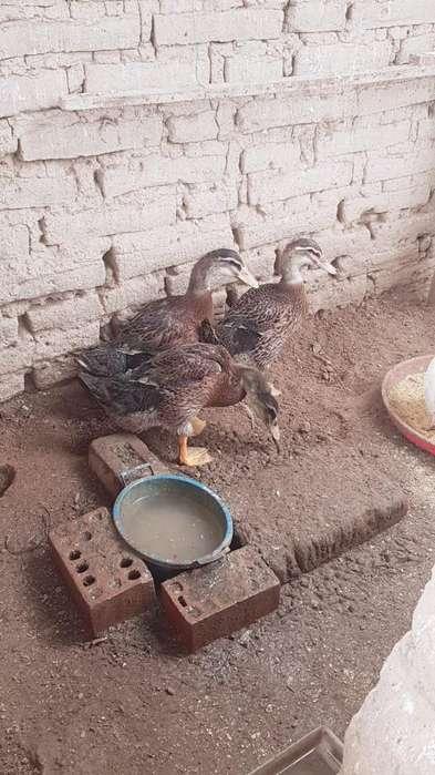 -venta de Patos de Laguna Ornamentales