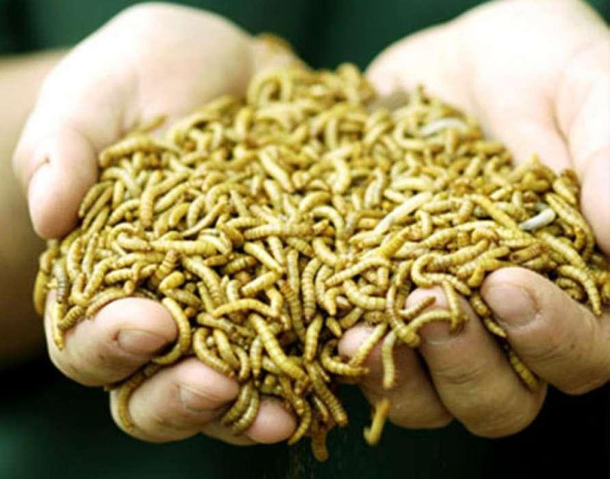 Larvas de Harina Tenebrio Molitor