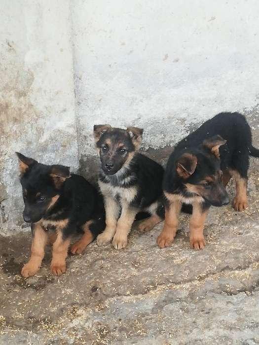 Ultimas Cachorras Pastor Aleman