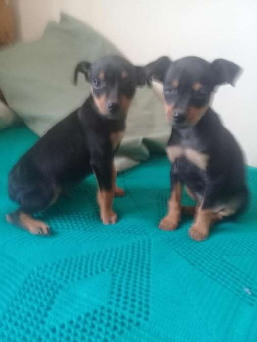 Vendo Un <strong>cachorro</strong> Doberman Picher