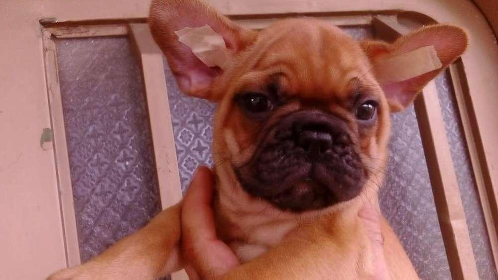 Cachorros <strong>bulldog</strong> Frances