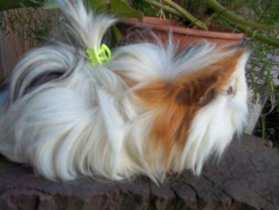 Mascota Conejillos Cury Caldas Manizales