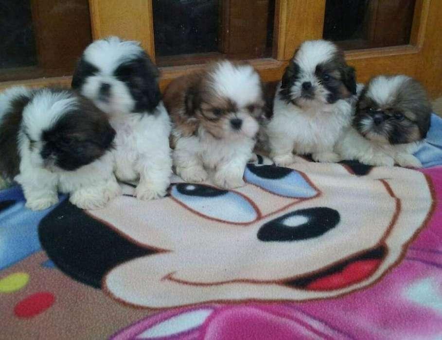 Cachorros Shitzu Miniatura