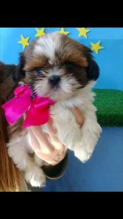 Bellos Cachorros Shih Tzu Tricolor