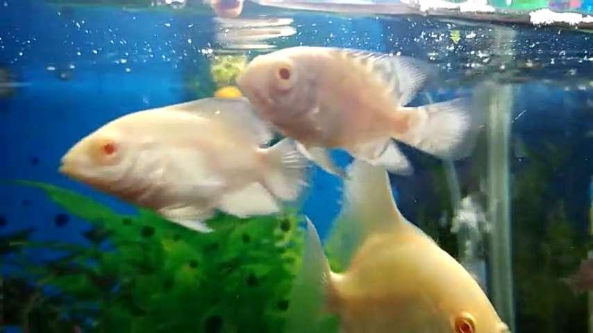 Vendo peces oscar albinos