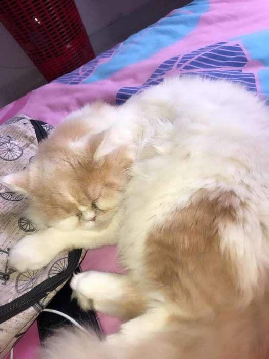 Se vende gato persa de 10 meses