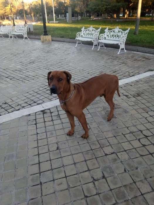 Cachorros Rhodesian 4 Hembras