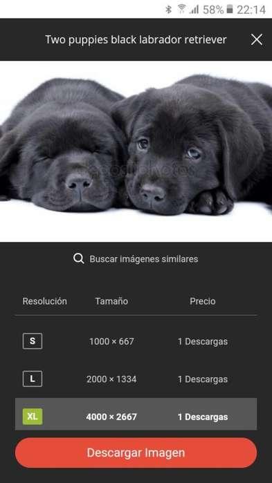 Vendo Labrador Puro