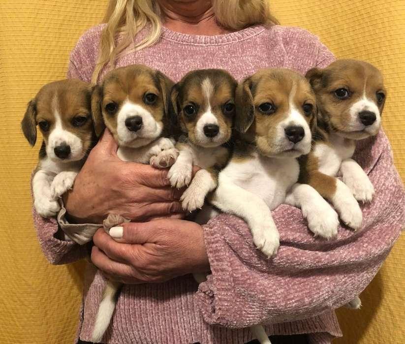 Cachorros <strong>beagle</strong>