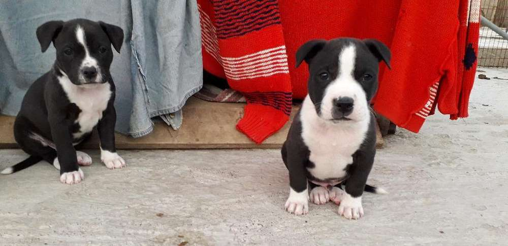 Disponibles Cachorros Pitbull Vacunados