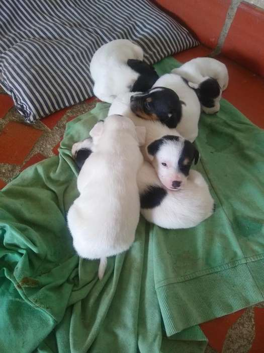 Venta de <strong>perros</strong> Jack Russell Terrier