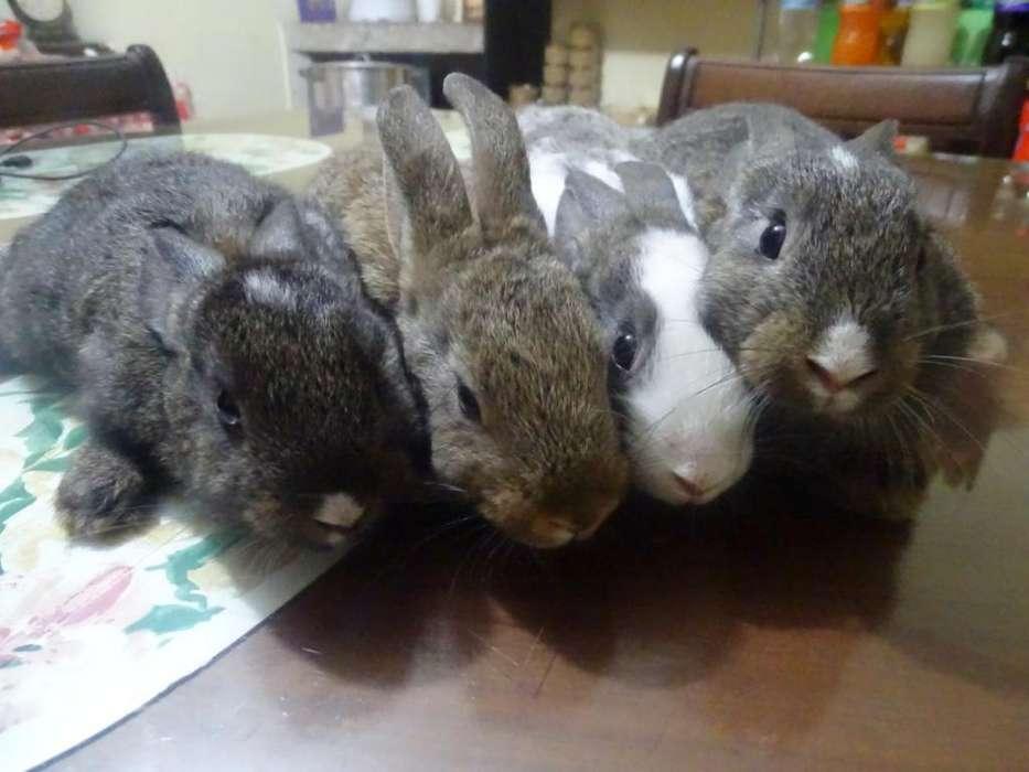 Conejos Flandes de 45 Días